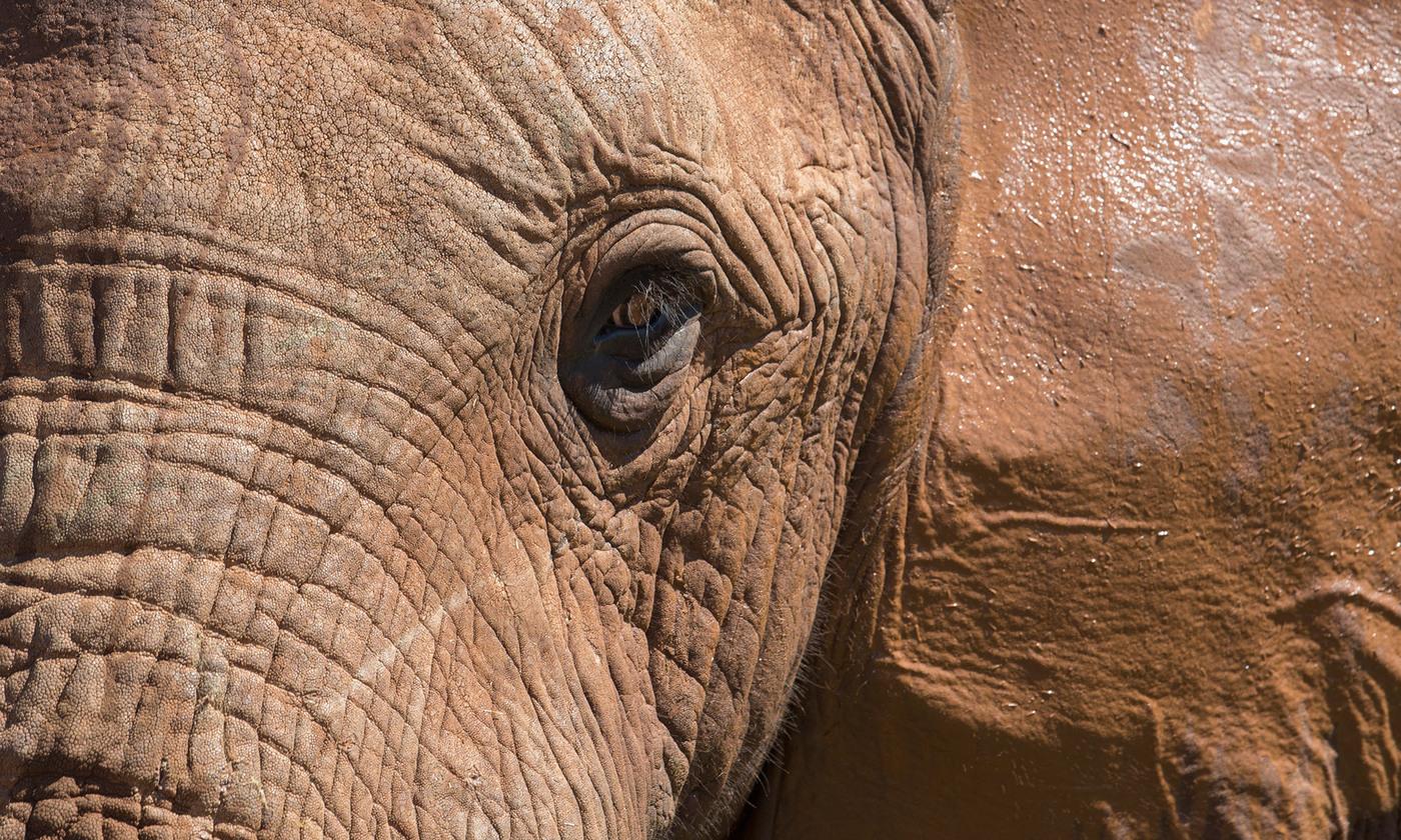 The elephant as a person   Aeon