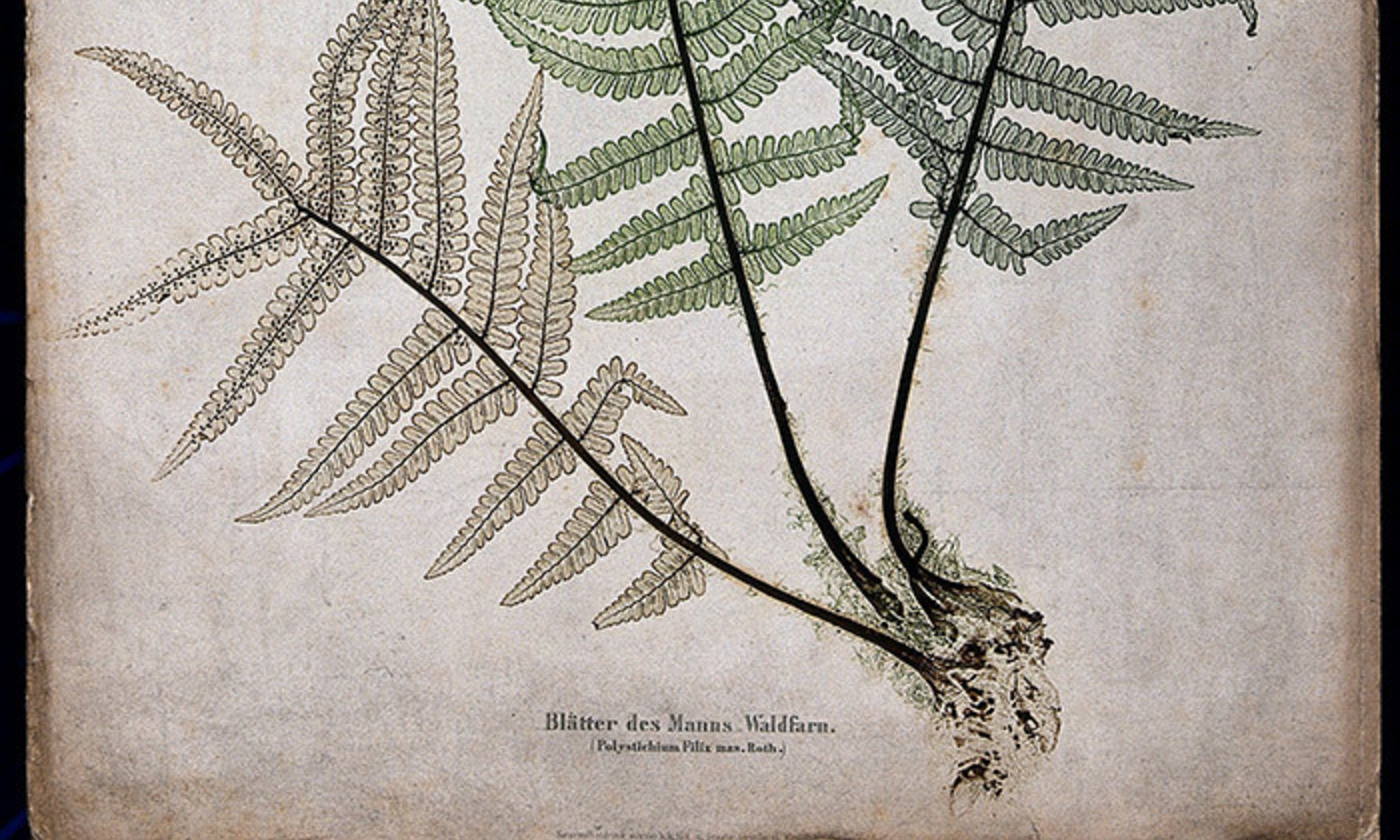 <p>The male fern (Dryopteris filix-mas): fronds and part of rhizome. Colour nature print by A. Auer, c. 1853. <em>Courtesy Wellcome Images</em></p>