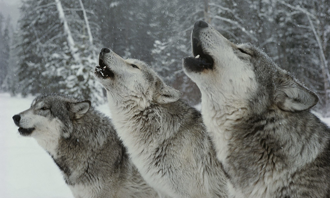 The songs of the wolves | Aeon