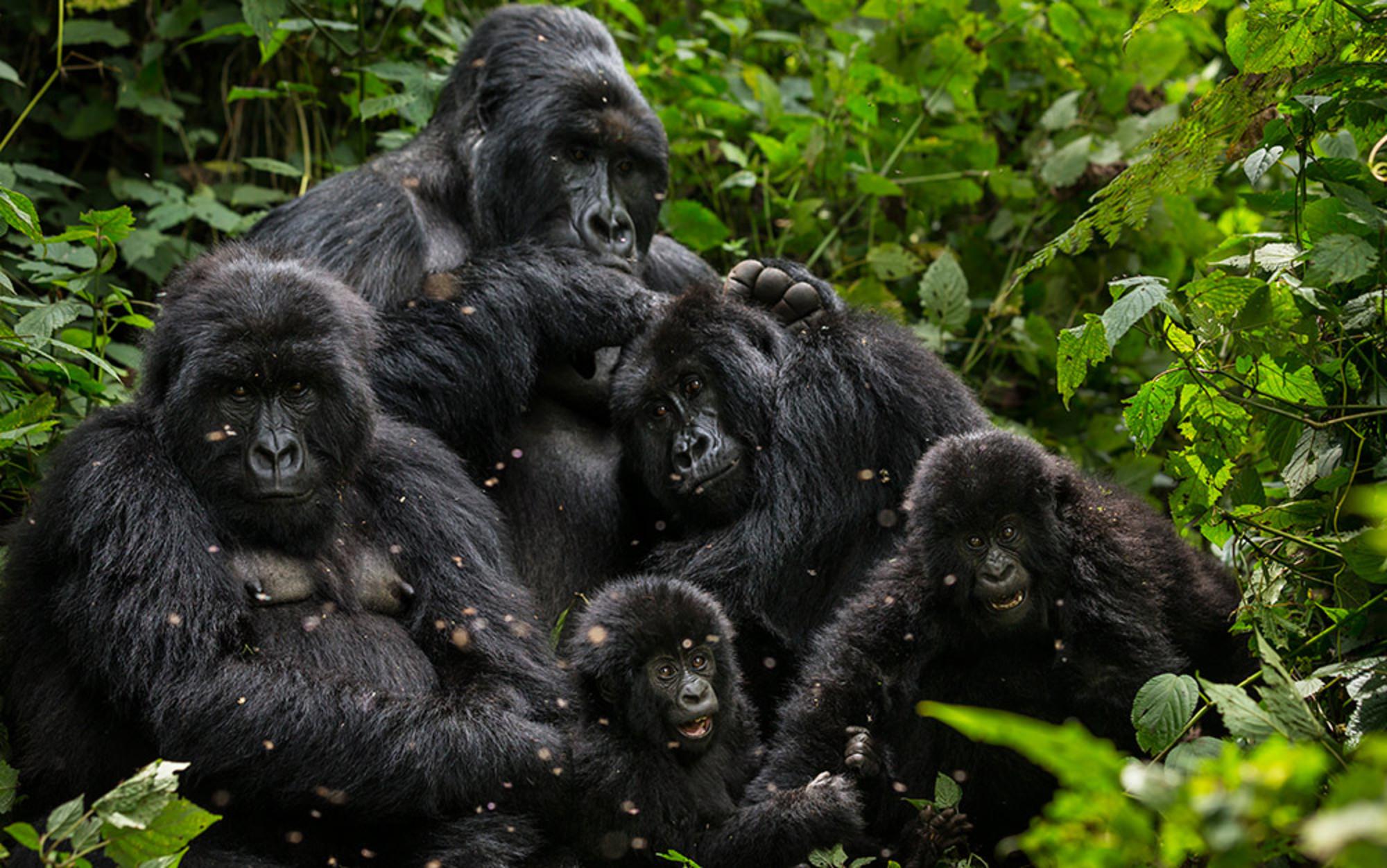 Header essay v1 gorillas  455168123