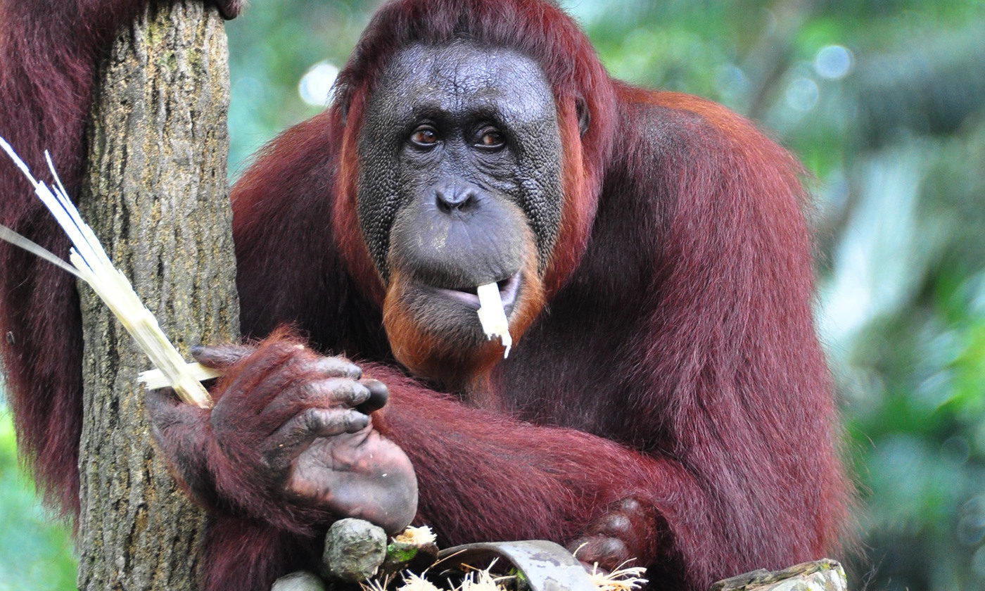A look at an ape eating