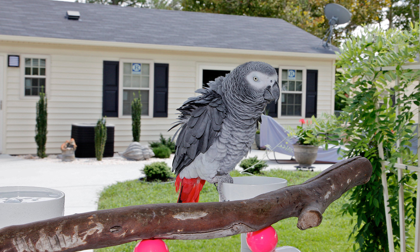 Quite smart. An African Grey parrot at home. <em>Photo by Keith Allison/Flickr</em>