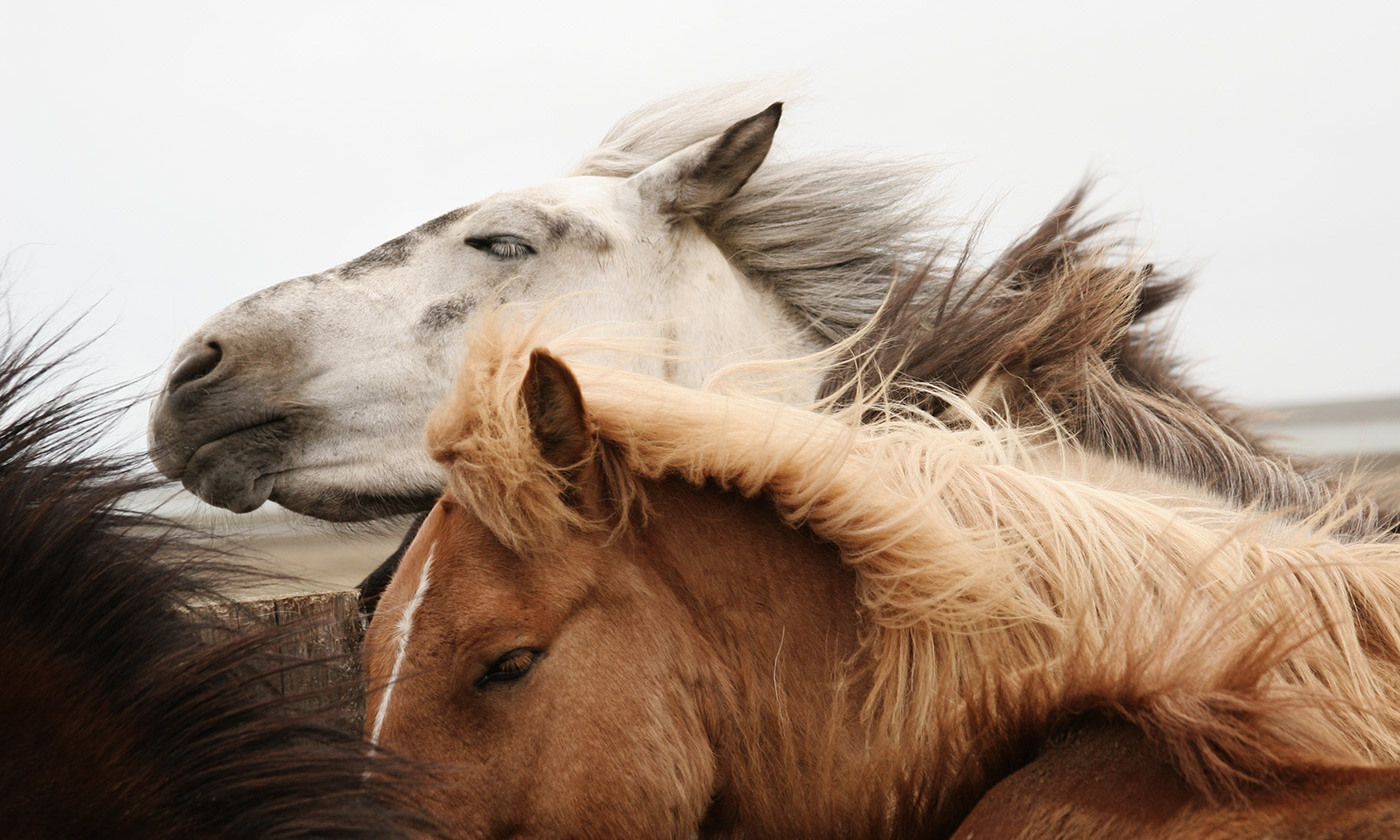 Wild horses in Iceland. <em>Photo by Gigja Einarsdottir/Getty</em>