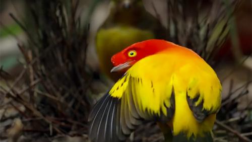 Card bowerbird main